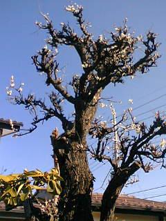 我が家の梅の木