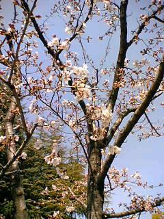山梨大学近くの桜