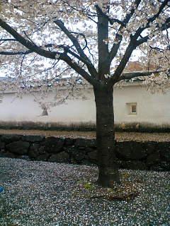 雨で桜が散ってきましたね。
