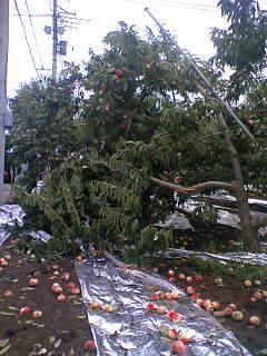山梨市・甲州市に強風に伴う雷雨による果樹被害の調査にいきました。その2