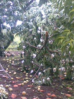 山梨市・甲州市に、強風に伴う雷雨による果樹被害の調査にいきました。その1。