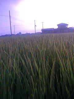 家の田んぼにも稲穂がでてきました。