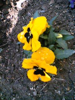 昨日の雨の滴が残る花