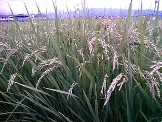 我が家の田んぼの稲