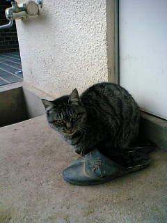 主人のサンダルを温める猫